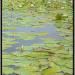 """Waterlelies bij de """"Ronde Hoep"""""""